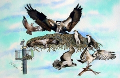 Collection Of Ospreys