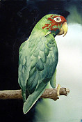 Parrot Tanquaray