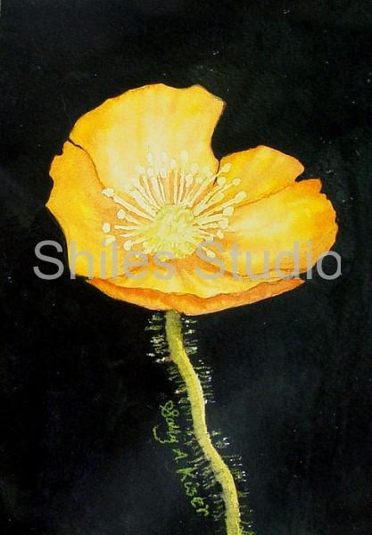 Yellow Poppy